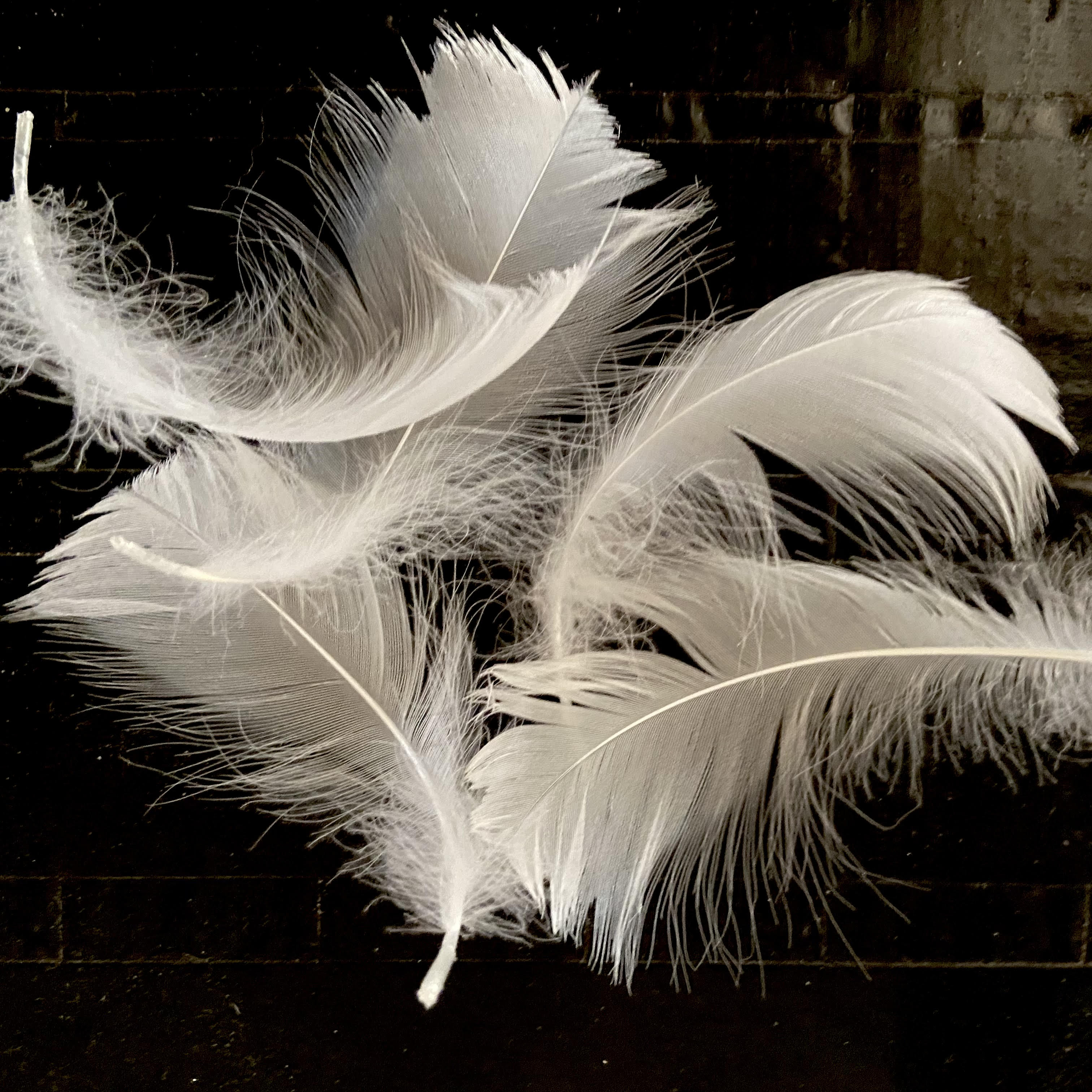 Swan Feathers Too by Jean Wilson for Birds of Firle